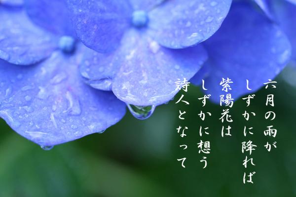 紫陽花_6189363.jpg