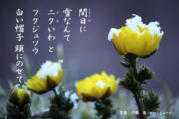 福寿草_232318_.jpg