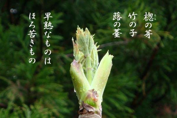 楤の芽_IMG937406.jpg