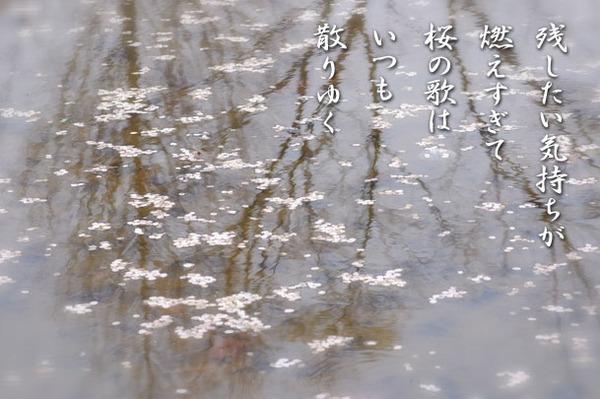 桜の歌_9178437.jpg
