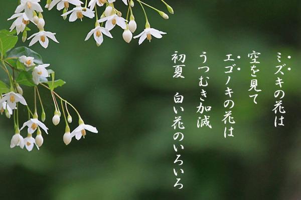ミズキの花_1904.jpg