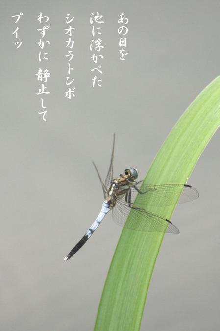 シオカラトンボ_9602046.jpg