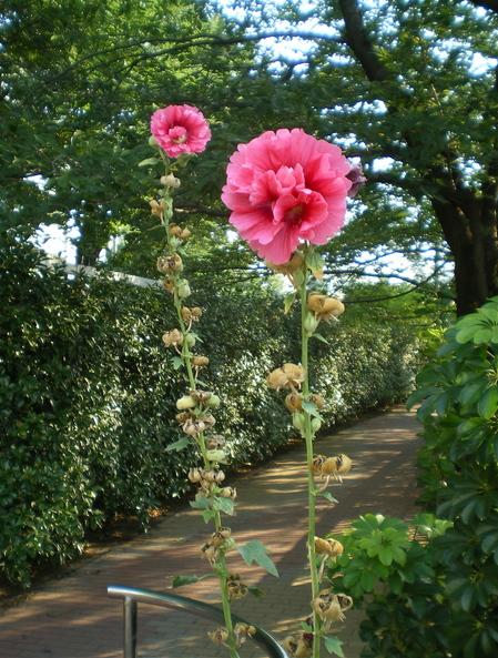 871820b034ecc 下から順番に咲いてきた花も、到頭てっぺんまで来ました。梅雨入りの前に咲き始め、梅雨明け頃に終わるので、別名「ツユアオイ(梅雨葵)」とも言われています。