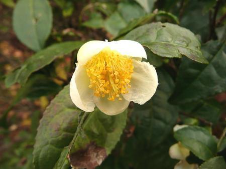 お茶の花.jpg